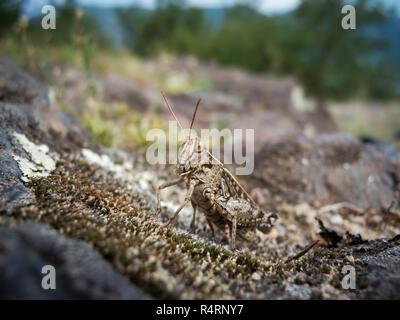 grashopper chorthippus biguttulus female - Stock Photo