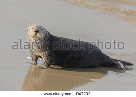 Sea Otter comes out of the water for a mid-day rest. - Stock Photo