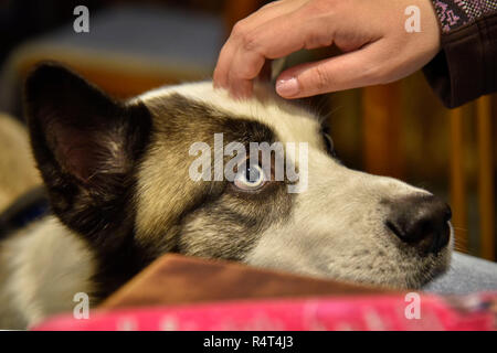 View husky dogs under the gently hand of a man et, husky, portrait, cute, - Stock Photo