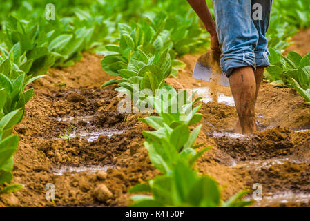 Cuban tobacco farmer working the soil on a field surrounded by green tobacco leaves. Man hoeing ground bare feet in tobacco plantation. Vinales valley - Stock Photo
