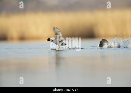 Coots (Fulica atra) adult, engaged in territorial dispute, on pool, West Yorkshire, England, March - Stock Photo
