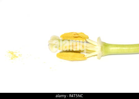 The reproductive parts of a tulip flower on white background - Stock Photo