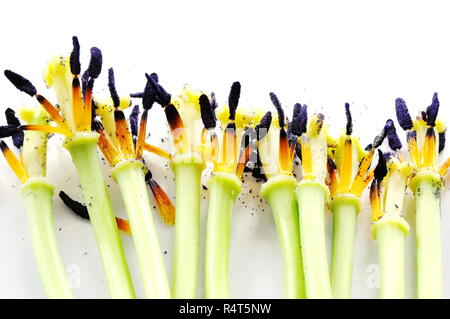 Group of withered tulips on white background - Stock Photo