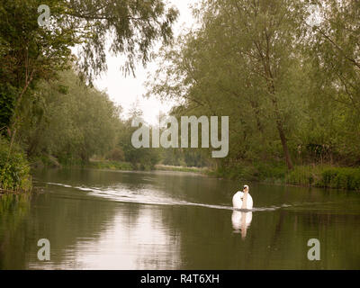 a lovely white mute swan single swimming down the stream river towards in spring - Stock Photo