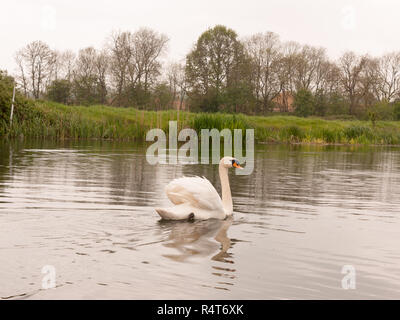 a lovely mute swam on a river in uk spring park swimming away single - Stock Photo