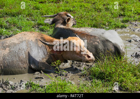 Thai buffalo lying in a mud pond for relax at grass land. - Stock Photo
