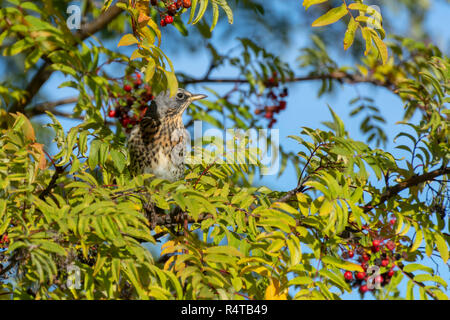 Fieldfare (Turdus pilaris) sitting in a mountain-ash (Sorbus aucuparia) with blurred background, picture from Northern Sweden.