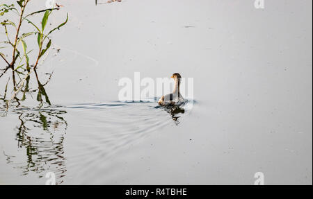 A Duck is seen swimming in a pond. - Stock Photo