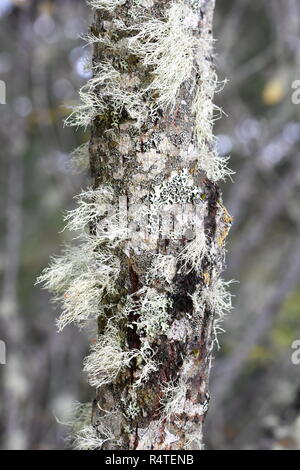 Old man's beard lichen Usnea sp. growing on a trunk - Stock Photo