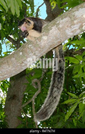 Malabar giant squirrel (Ratufa indica) feeding on branch, Hikkaduwa, Sri Lanka - Stock Photo