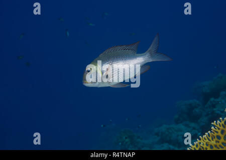 Bigeye Emperor or Humpnose big-eye bream (Monotaxis grandoculis) floats in blue water near coral reef, Dahab, Sinai Peninsula - Stock Photo
