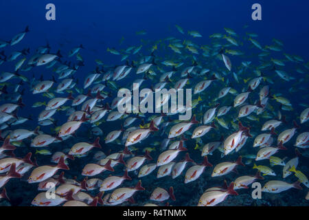 School of fish Humpback Red Snapper (Lutjanus gibbus) in blue water, Indian Ocean, Maldives - Stock Photo