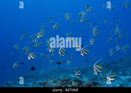 School of Schooling bannerfish (Heniochus diphreutes) over coral reef in blue water, Indian Ocean, Maldives - Stock Photo