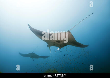 Two Giant oceanic manta rays (Manta birostris) swim in blue water, Indian Ocean, Maldive - Stock Photo