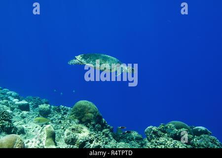 Hawksbill sea turtle (Eretmochelys imbricata) swims near coral reef in the blue water, Fuvahmulah Atoll, Indian Ocean, Maldives - Stock Photo