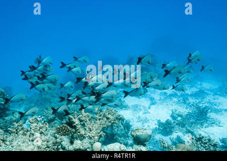 School of Humpback Red Snapper (Lutjanus gibbus), Indian Ocean, Maldives - Stock Photo
