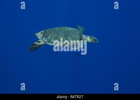 Hawksbill sea turtle (Eretmochelys imbricata) swims near coral reef in the blue water, atoll Fuvahmulah, Fuvahmulah island - Stock Photo