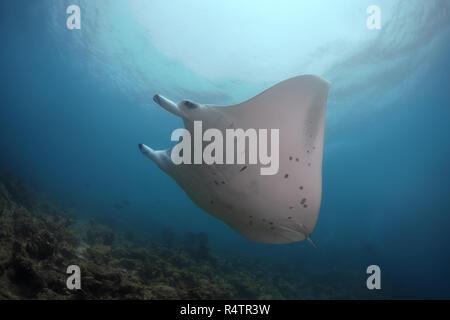 Reef Manta Ray (Mobula alfredi) swim in the blue water, Indian Ocean, Maldives - Stock Photo