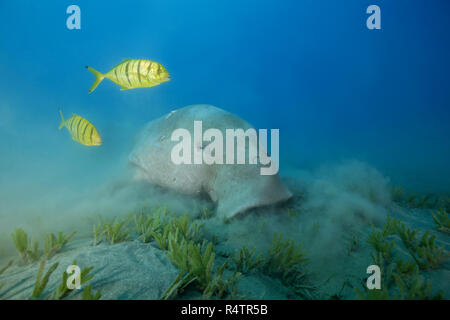 Dugong (Dugong dugon) eating sea grass, with Golden Trevallys (Gnathanodon speciosus), Red Sea, Hermes Bay, Marsa Alam, Egypt - Stock Photo