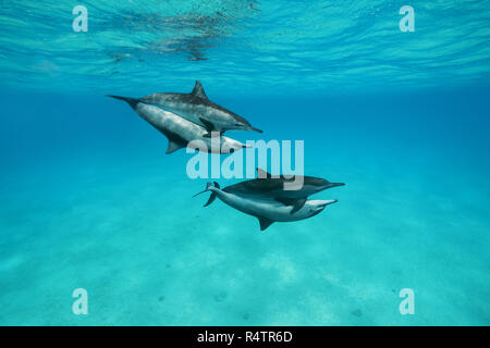 Mating of two pairs Spinner Dolphins (Stenella longirostris), Red Sea, Sataya Reef, Marsa Alam, Egypt - Stock Photo