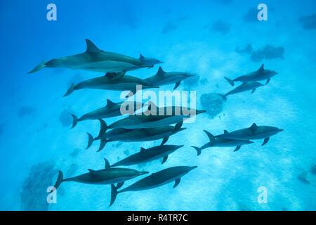 A pod of Spinner Dolphins (Stenella longirostris) swims over sandy bottom, Red Sea, Sataya Reef, Marsa Alam, Egypt - Stock Photo