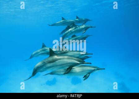 Pod of Spinner Dolphins (Stenella longirostris) swims over sandy bottom, Red Sea, Sataya Reef, Marsa Alam, Egypt - Stock Photo
