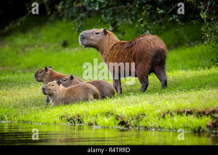 Capybaras (Hydrochoerus hydrochaeris), dam with young animals on shore, looking out, Pantanal, Mato Grosso do Sul, Brazil - Stock Photo