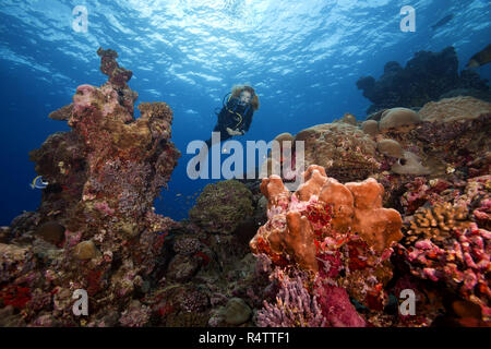 Female scuba diver swims next to a coral reef, Fuvahmulah island, Indian Ocean, Maldives - Stock Photo