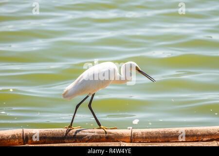 Little Egret (Egretta garzetta) - Stock Photo