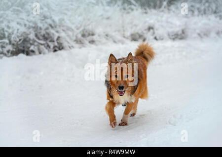 Cheerful healthy walk of red dog in a winter park, forest covered with fluffy snow - Stock Photo