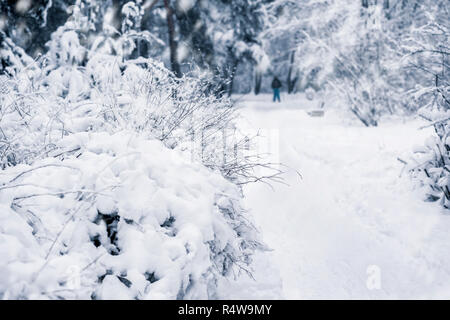 Branches of a forest tree covered with snow, unrecognizable skier in snowy park, winter walk, leisure, active lifestyles. Natural background, selective focus - Stock Photo