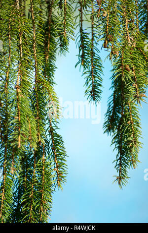 Evergreen Pine Tree With Hanging Branches And Sky Blue Background - Stock Photo