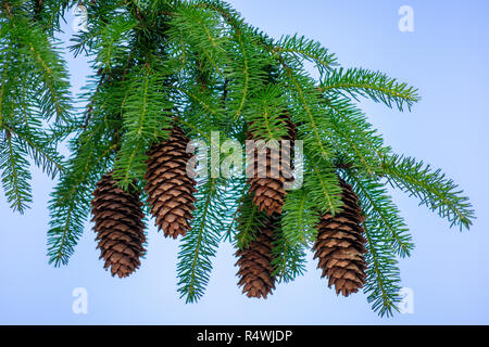 Spruce Tree Pine Bough With Pine Cones - Stock Photo