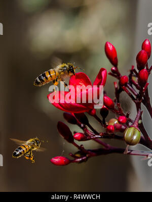 Two honeybees flying over a red flower. - Stock Photo