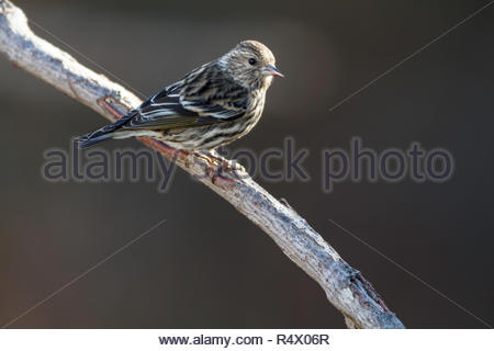 Pine Siskin perched on dead tree branch - Stock Photo