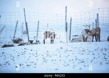 Group herd of caribou reindeers pasturing in snowy landscape, Northern Sweden near Norway border, Lapland - Stock Photo