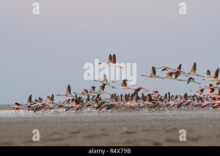 Lesser flamingo in flight in little rann of kutch, Gujarat, India - Stock Photo