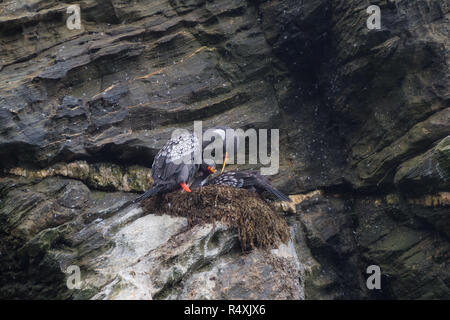 Couples of Lille cormorant in a cliff, Humboldt Penguin National Park in Punta de Choros, Chile. La Serena - Stock Photo
