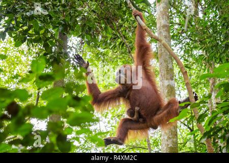 Sumatran Orang-utan - Pongo abelii, hominid primate from Sumatran forests, Indonesia. - Stock Photo