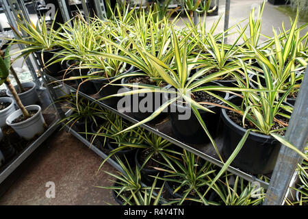 Yucca filamentosa Color Guard or known as Adam's Needle plants on display - Stock Photo