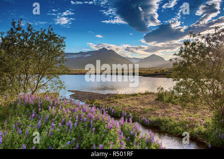 Lupine flowers in Iceland - Stock Photo