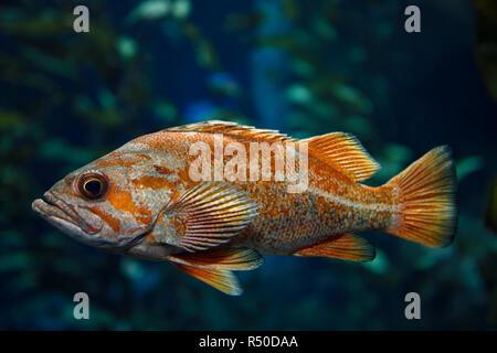 Orange Vermilion Rockfish Pacific ocean fish in kelp forest of the North American coast - Stock Photo