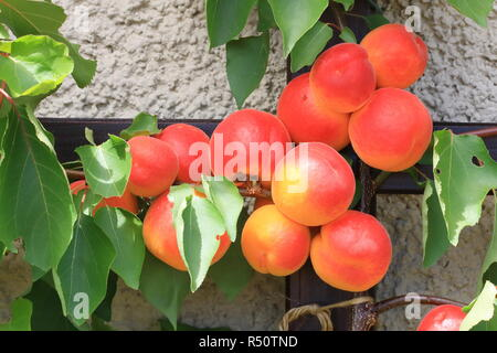 Prunus armeniaca apricot tree branches full of frits, ripening apricots and green leaves on tree during summer season - Stock Photo