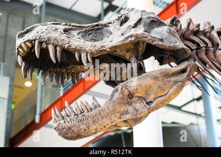 Tyrannosaurus Rex Dinosaur Fossil. A fossil dinosaur skull of the tyrannosaurus rex against an unfocused background, event of extinction. - Stock Photo