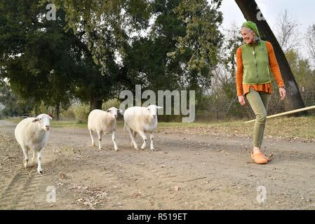 Female farmer walking with three sheep, Mimi is co-owner of organic Front Porch Farm, Healdsburg, California, USA. - Stock Photo