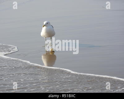 seagull wading in the shallows on the beach - Stock Photo