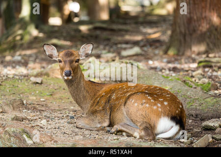 Deer lying down on the ground - Stock Photo