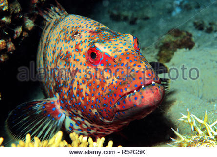 Roving Coral Grouper or Red Sea Coral Grouper (Plectropomus pessuliferus marisrubri), Saudi Arabia, Red Sea - Stock Photo