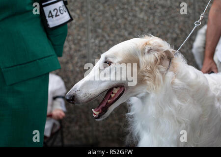 Long haired white Borzoi breed dog on a leash at a dog show, showing his teeth tongue and gums. - Stock Photo