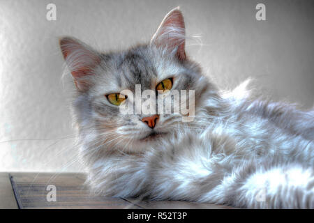 Portrait of a siberian cat lying on a table - Stock Photo